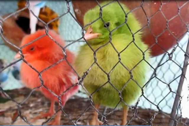highcompress-chicks