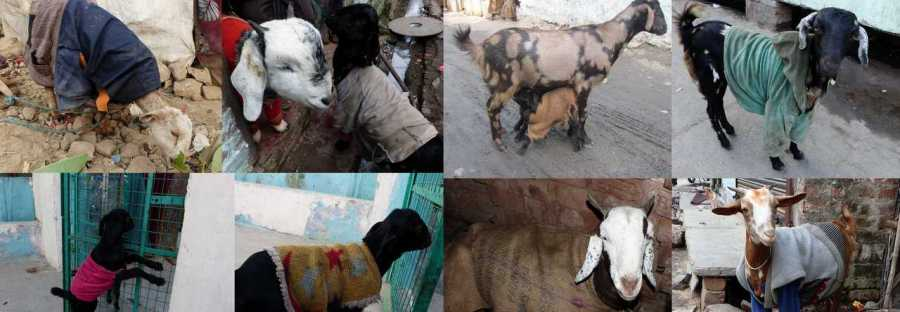 goats in sweaters in the slum in the city